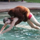 To be featured in the 2012 Summer Olympics: the 100 meter Orangutan.